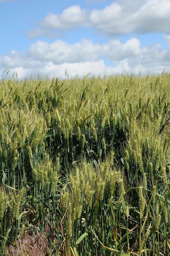 Поля озимой пшеницы стоковое изображение rf