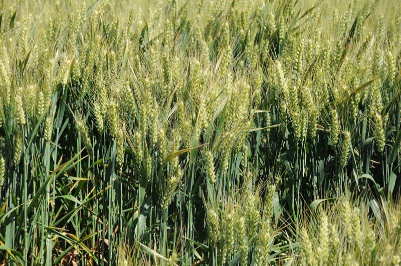 Поля озимой пшеницы стоковые изображения rf