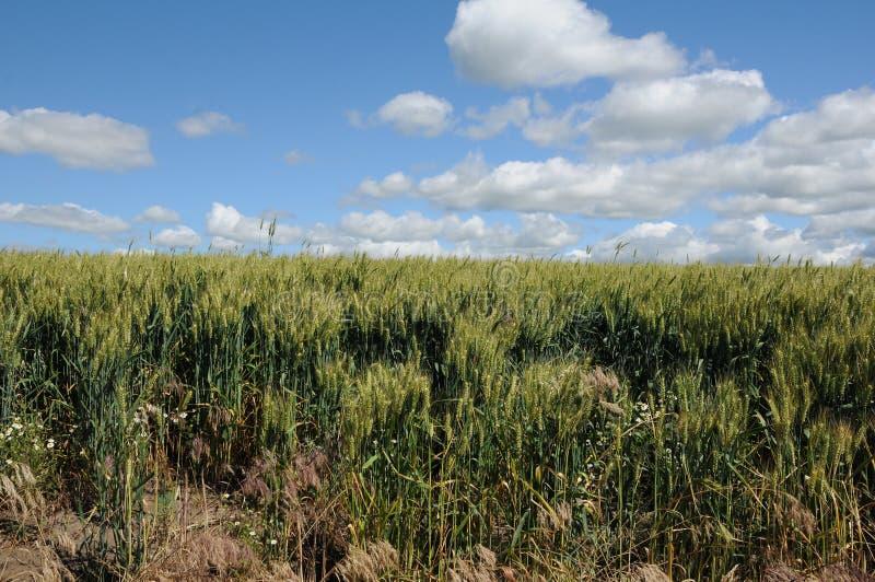 Поля озимой пшеницы стоковое изображение