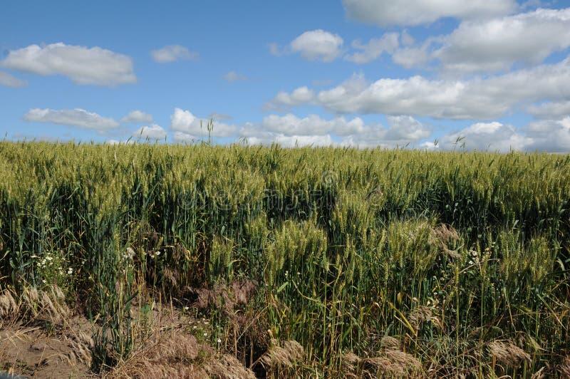 Поля озимой пшеницы стоковое фото