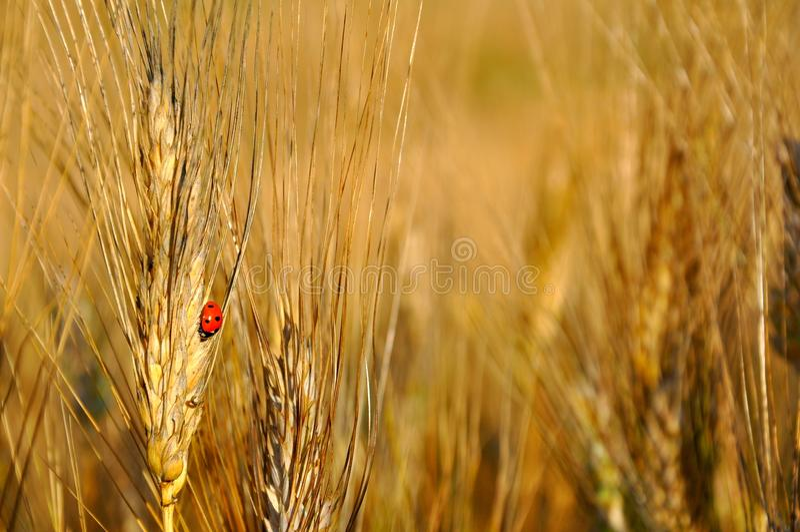 Поля пшеницы в Италии стоковое изображение