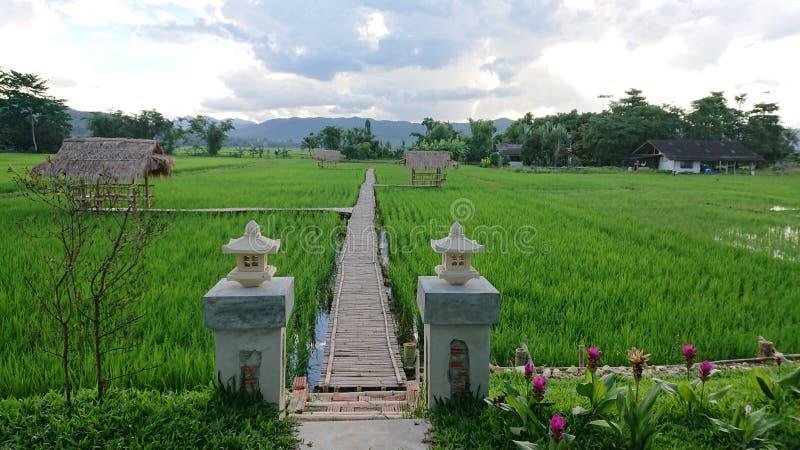 Поля риса в rai Ching стоковые фотографии rf
