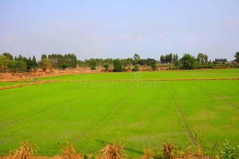 Поля риса, зеленый, на открытом воздухе, сезон дождей, Таиланд, естественная предпосылка стоковое фото