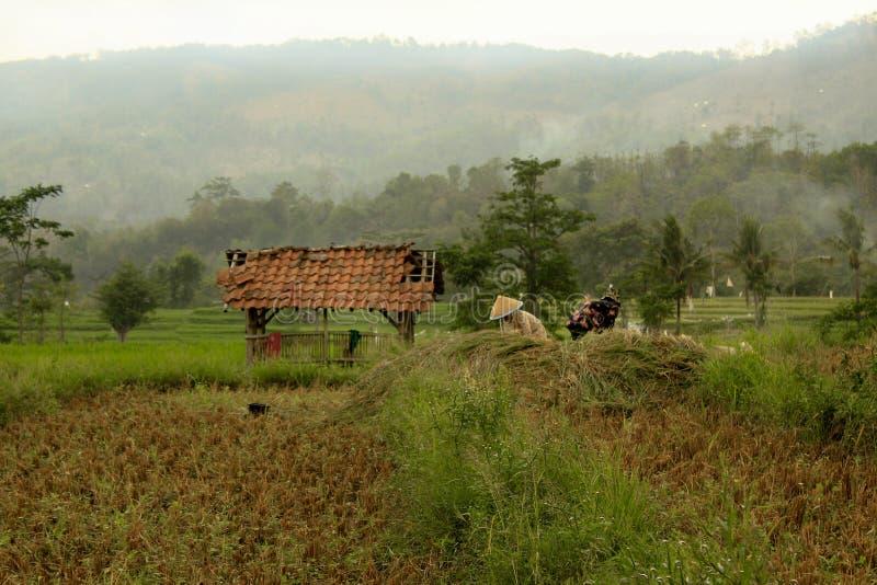 Поля риса под зелеными холмами стоковые изображения