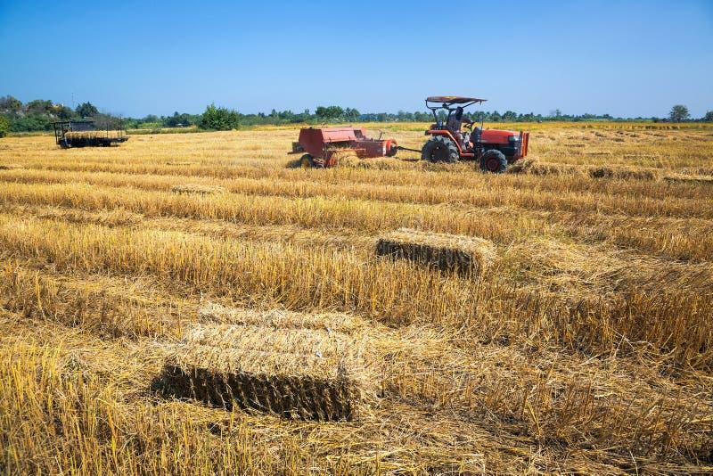 поля риса с сбором фермеров стоковые изображения
