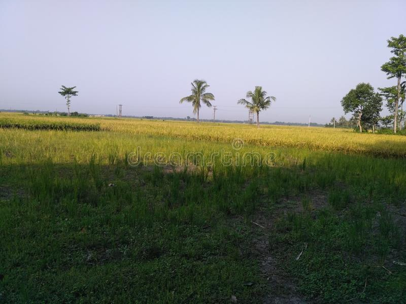 Поля риса стоковое фото