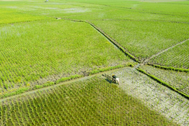 Поля рисовых полей азиатского фермера мучительные стоковое изображение rf