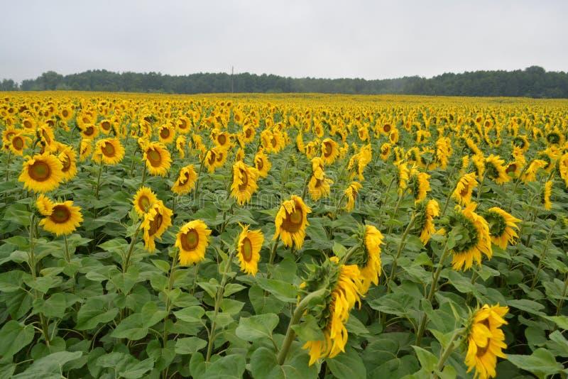 Поля солнцецветов после дождя Время утра стоковые изображения