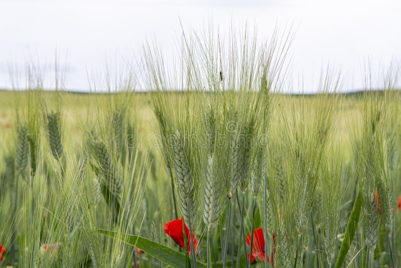 Поля с незрелой зеленой твердой пшеницей макаронных изделий и красными маками на Сицилии, Италии стоковые фотографии rf