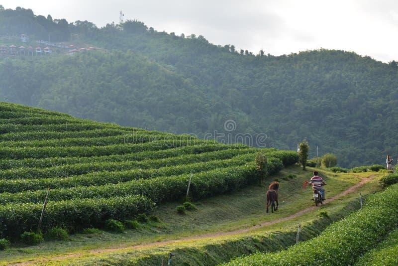 Поля чая около Chiang Rai Таиланда Азии стоковые изображения rf