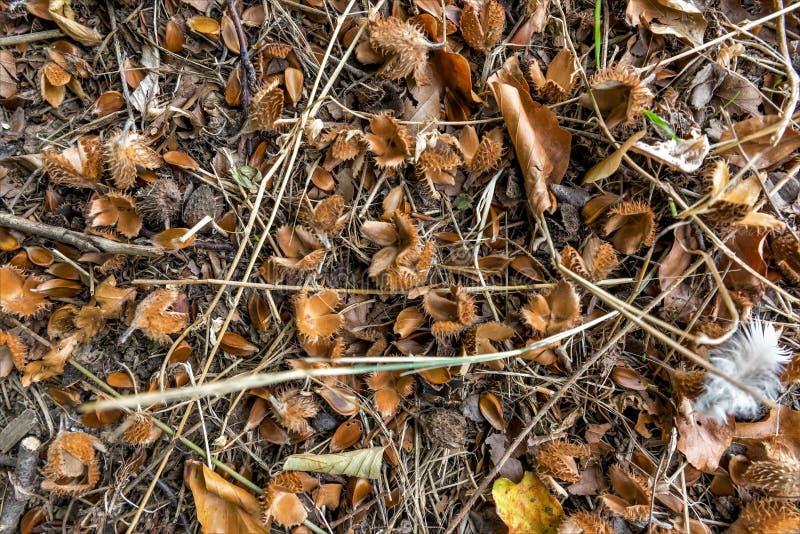 Пол Orest с beechnuts, листвой и иглами ели стоковые фотографии rf