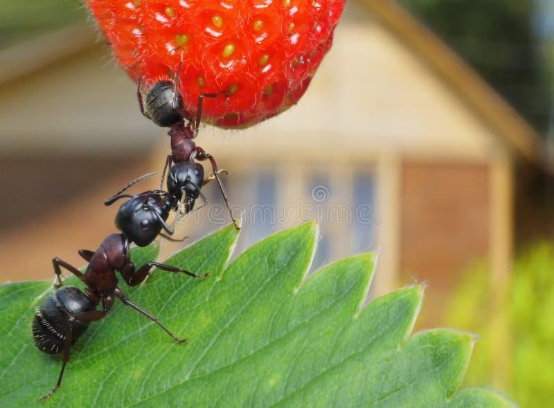 помадка лета клубники бунгала муравеев стоковые фотографии rf