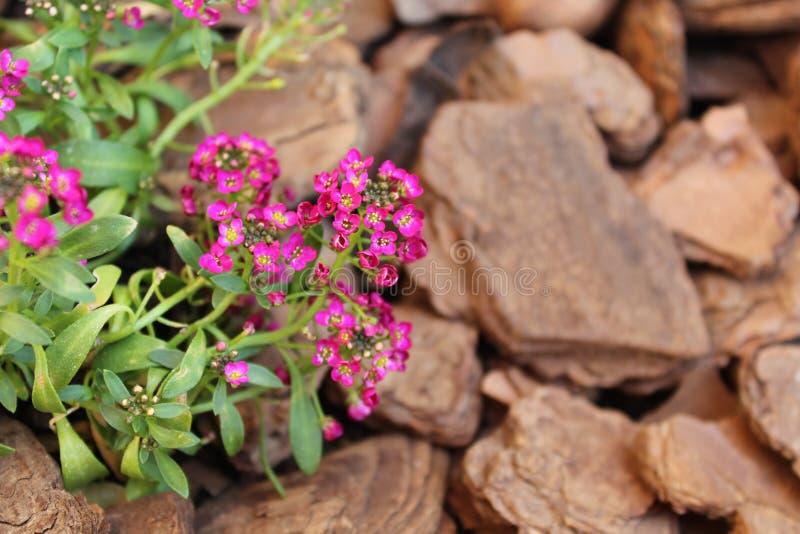 помадка alyssum стоковые фотографии rf