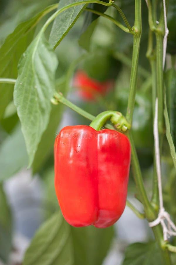 помадка перца красная стоковая фотография rf