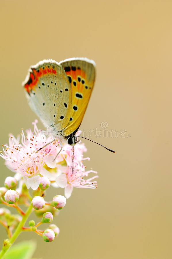 помеец бабочки стоковое изображение rf