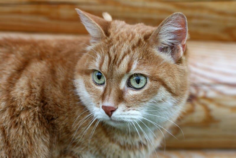 помеец кота стоковая фотография rf