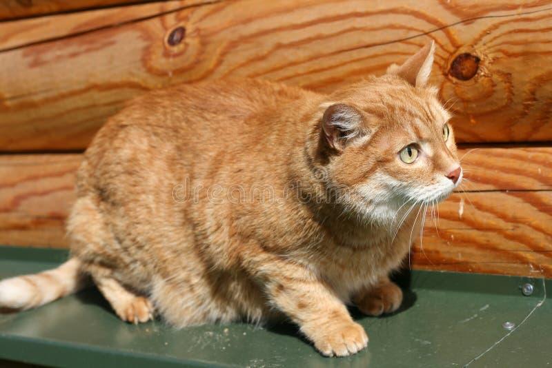 помеец кота стоковое изображение rf