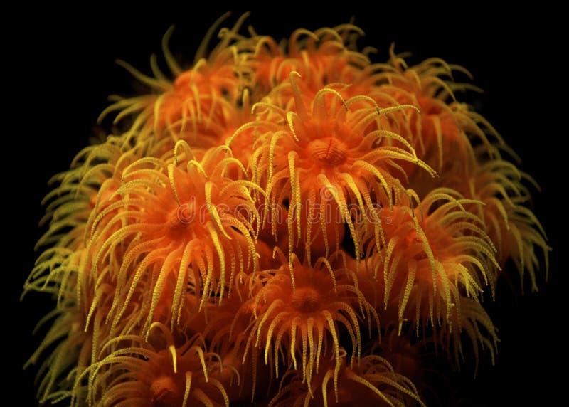 помеец чашки коралла стоковое фото rf