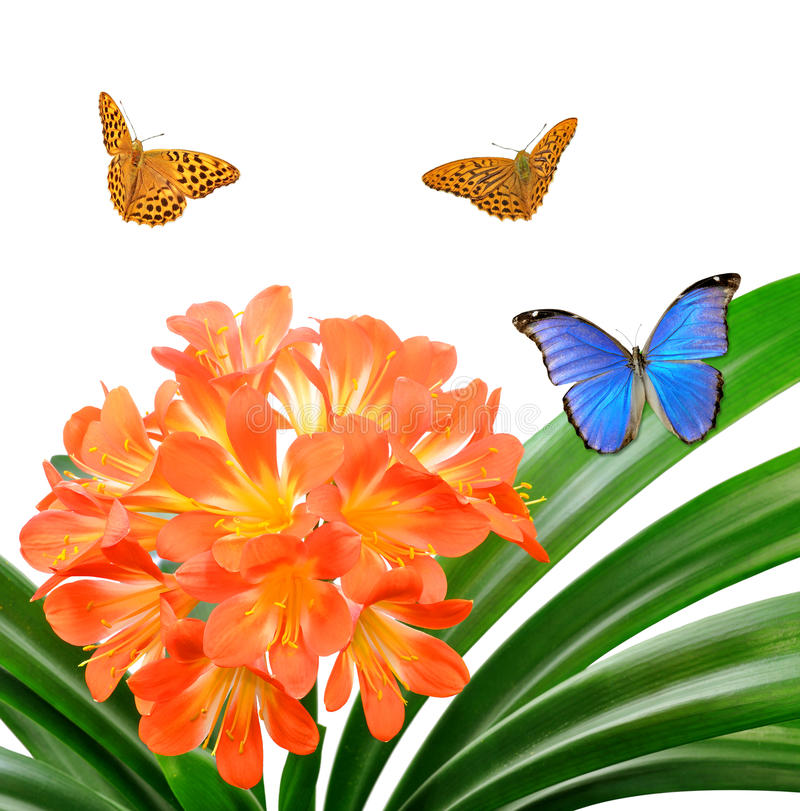 Померанцовое miniata Clivia с бабочками стоковые фотографии rf