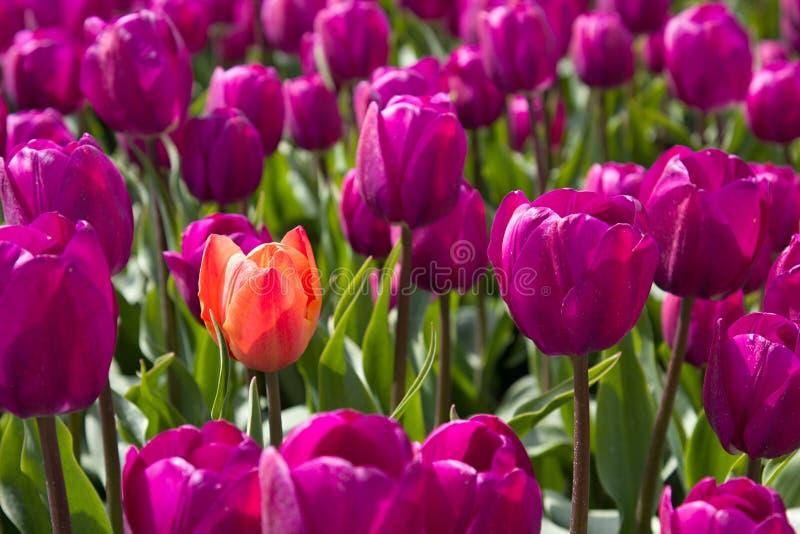 Померанцовые и пурпуровые тюльпаны стоковая фотография rf