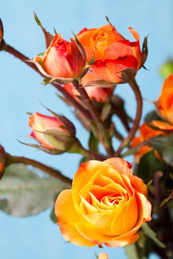 померанцовые розы стоковая фотография