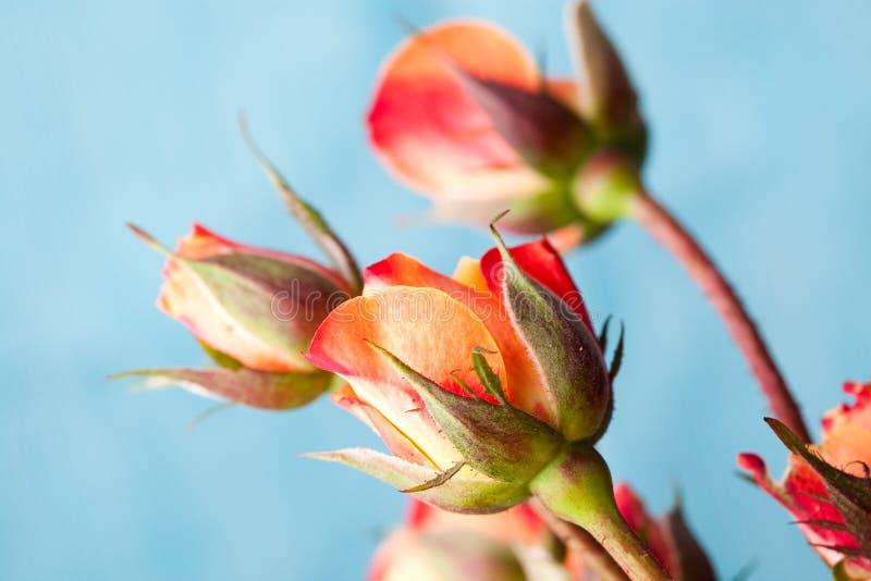 померанцовые розы стоковое фото