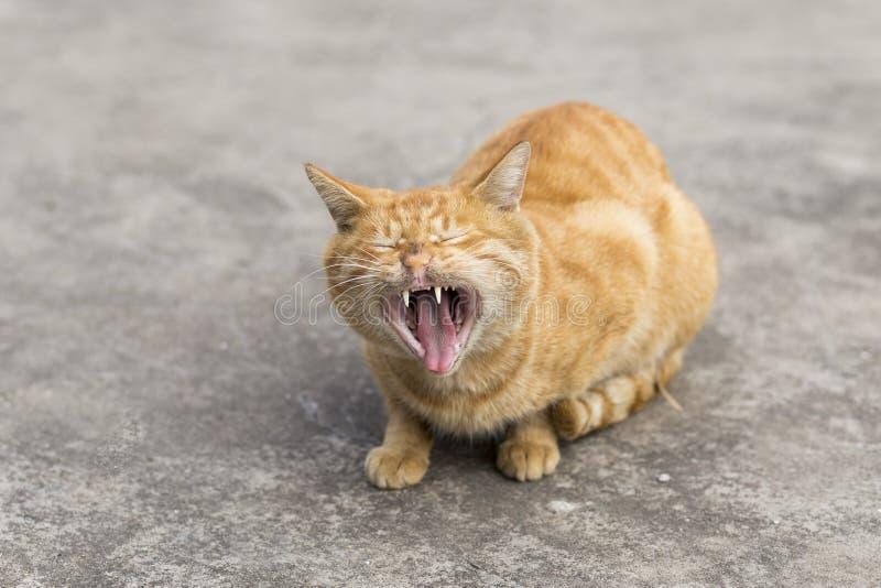 Померанцовый кот стоковые фотографии rf