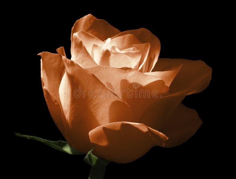 померанцовый красный цвет поднял изолированный цветок предпосылки черный Конец-вверх Снятый света - голубого цветка стоковая фотография