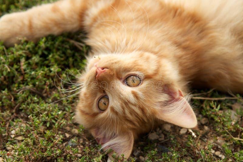 Померанцовый одичалый кот стоковая фотография rf