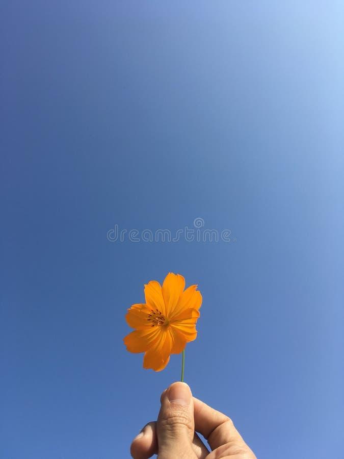Померанцовый цветок космоса и голубое небо стоковые изображения