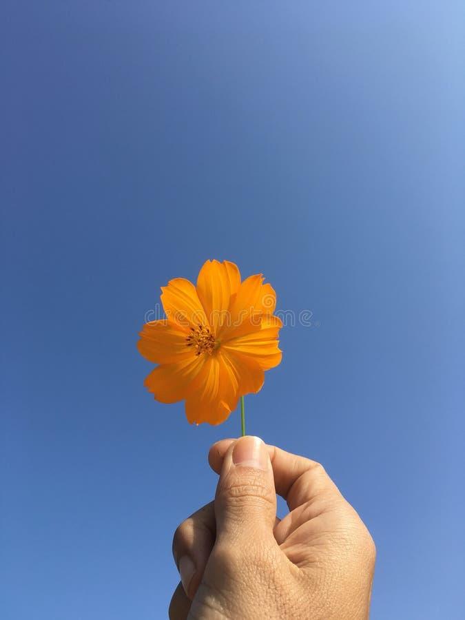 Померанцовый цветок космоса и голубое небо стоковые фотографии rf