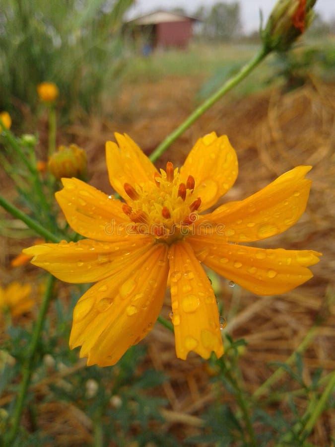 Померанцовый цветок стоковое фото