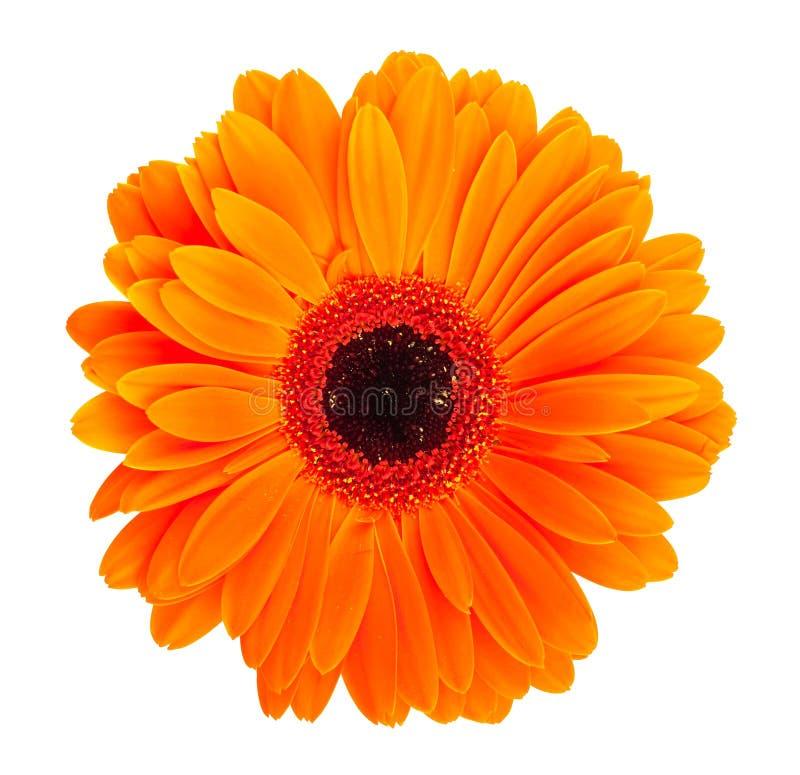 Померанцовый цветок gerbera стоковая фотография rf