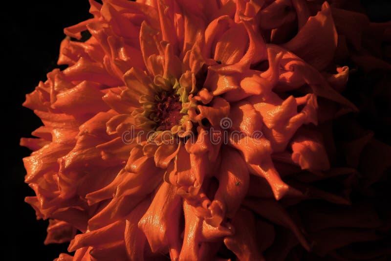 померанцовый zinnia стоковые изображения