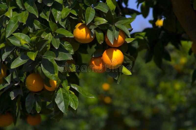 Download померанцы стоковое изображение. изображение насчитывающей вал - 6861761