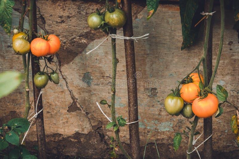 помидоры созревали в теплице, домашний урожай, урожай в теплице, домашн стоковое фото