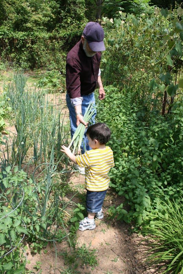 помогать grandpa сада мальчика стоковые фото