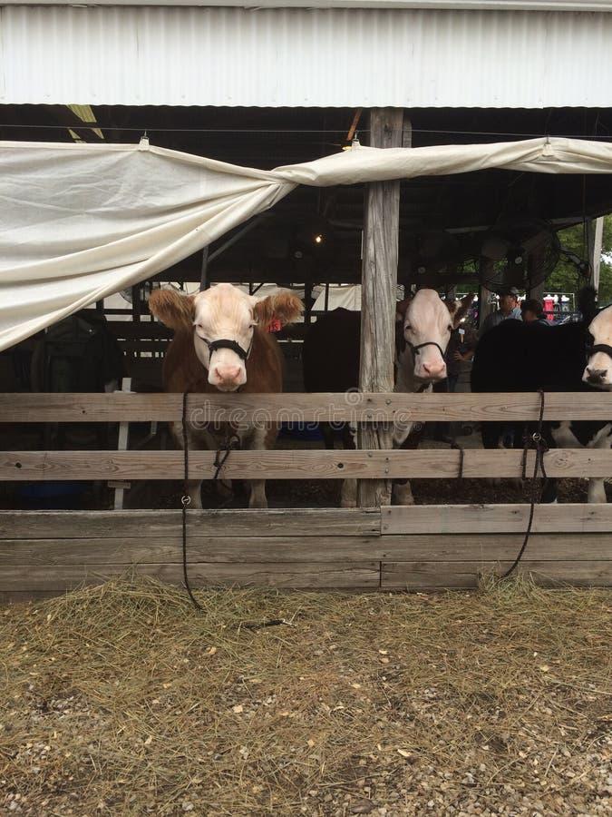 Помогите нам коровы стоковое фото