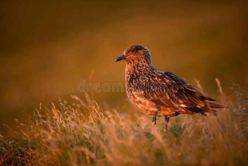 Поморниковый Stercorarius Остров Runde r Красивое изображение От жизни птиц Свободная природа   стоковые изображения