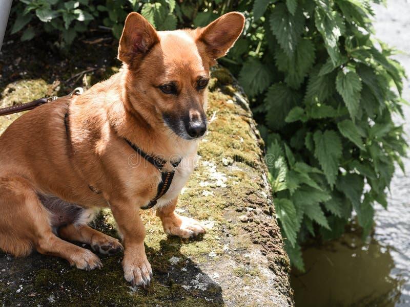 Помощь для Бенни, признательная бывшая собака улицы от Румынии стоковое фото rf