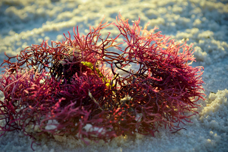 Seaweed стоковое фото rf