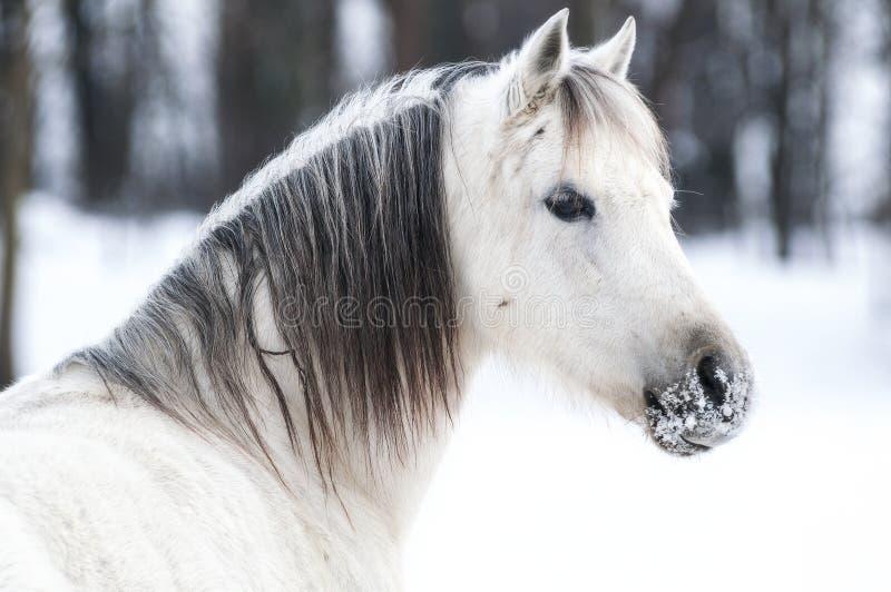 Пони зимы стоковые изображения rf