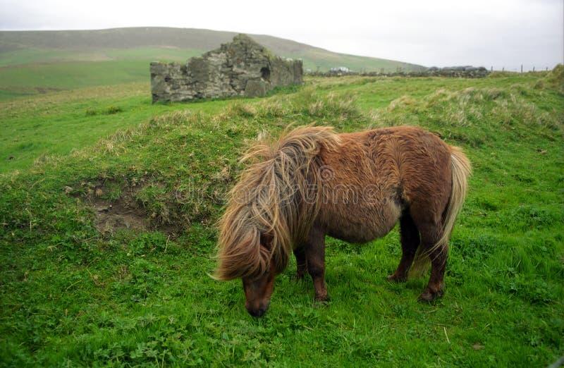 пони Шотландия shetland стоковое фото rf