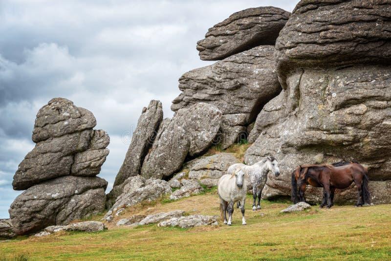 Пони Dartmoor около скалистой вершины седловины, Dartmoor, Девона Великобритании стоковое фото rf
