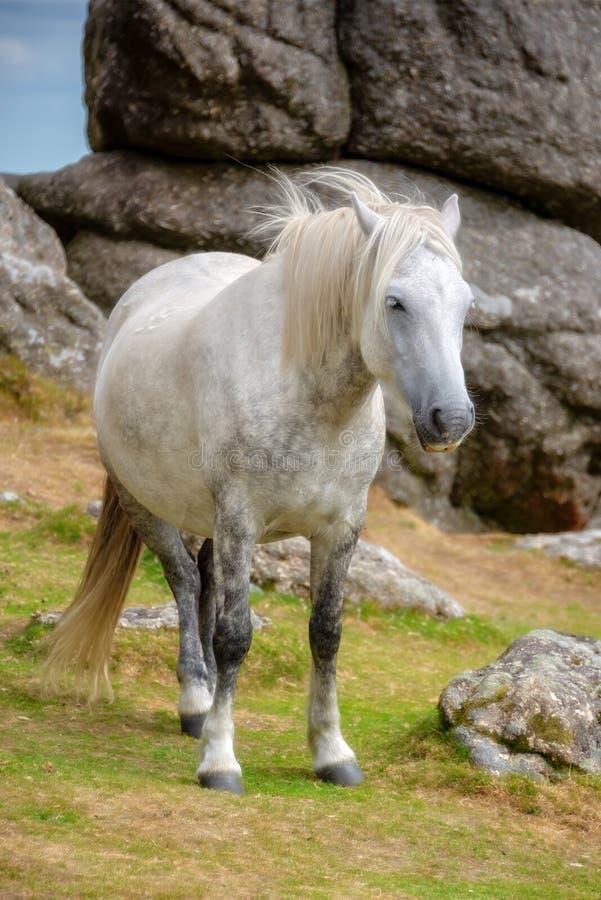 Пони Dartmoor около скалистой вершины седловины, Dartmoor, Девона Великобритании стоковые фотографии rf