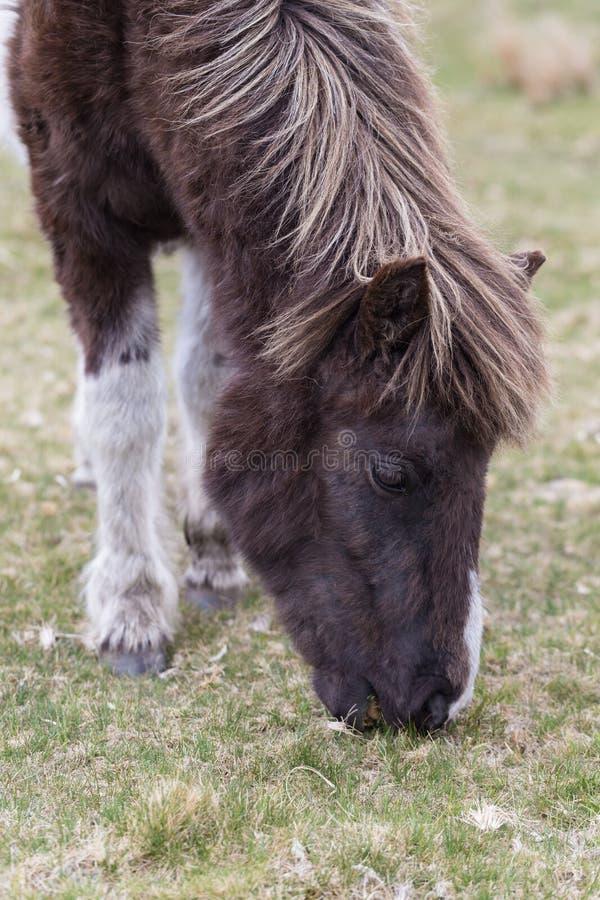 Пони Dartmoor стоковые фото