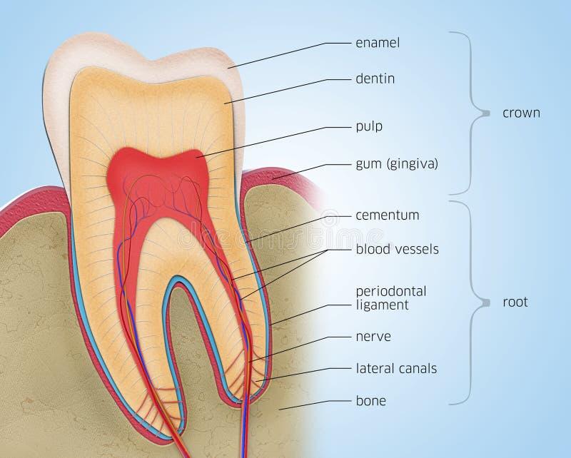 Поперечное сечение зуба с описаниями иллюстрация штока
