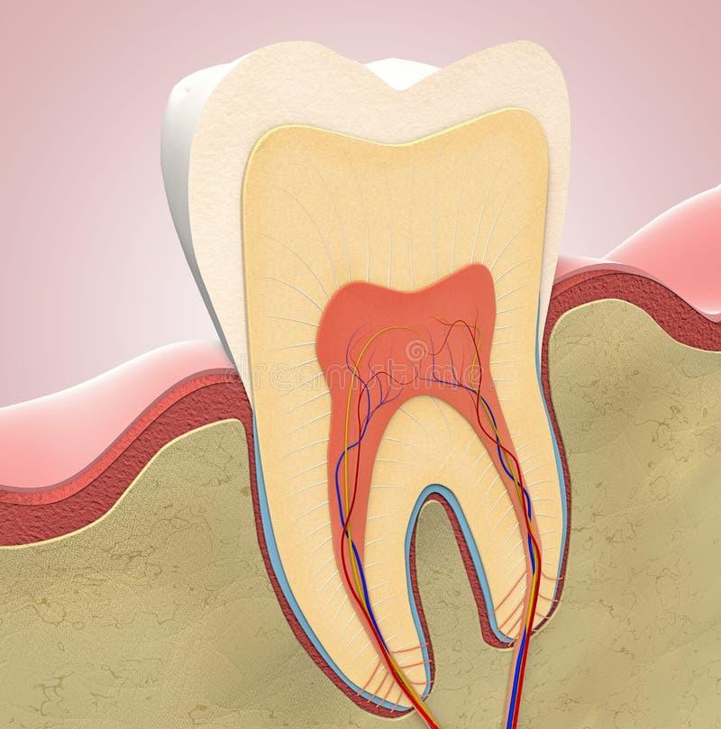 Поперечное сечение молярного зуба иллюстрация вектора