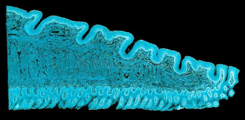 Поперечное сечение отрезало под взгляд †микроскопа «микроскопический животных клеток для образования стоковые фотографии rf