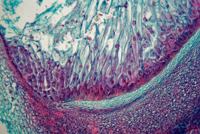 Поперечное сечение через клетки саженца от завода маиса под микроскопом стоковые изображения rf